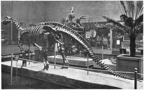Camarasaurus lentus, oblique rear view. Lull (1930: fig. 2)