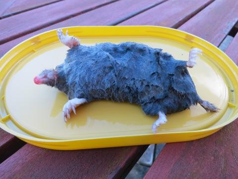 The SV-POW! mole, intact