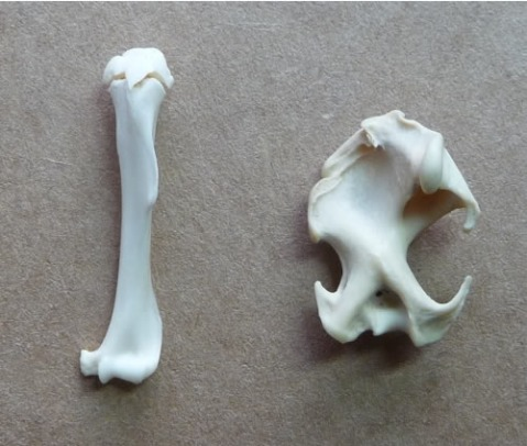 Left: rat humerus (for comparison), Right: mole humerus. The rat humerus is unfused on top, which is why there is a visible gap between the two parts.