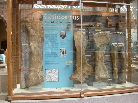 (Some of) the Cetiosaurus oxoniensis holotype material, on display in the public gallery of the Oxford University Museum of Natural History (OUMNH)