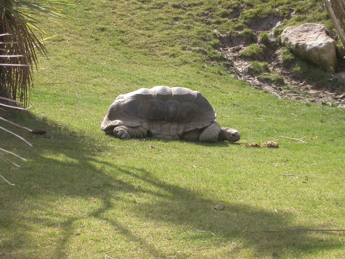 Oakland Zoo Tortoise - resting