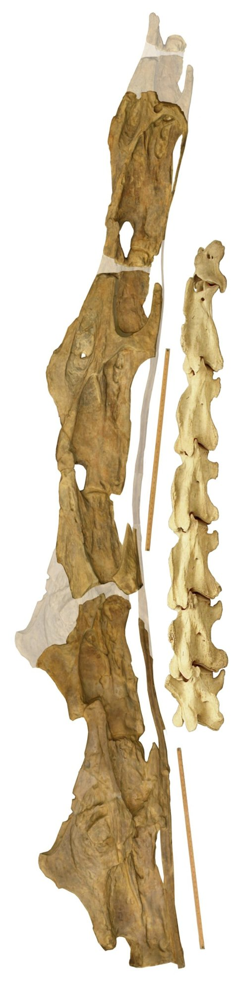Sauroposeidon OMNH 53062 articulated right lateral composite with giraffe