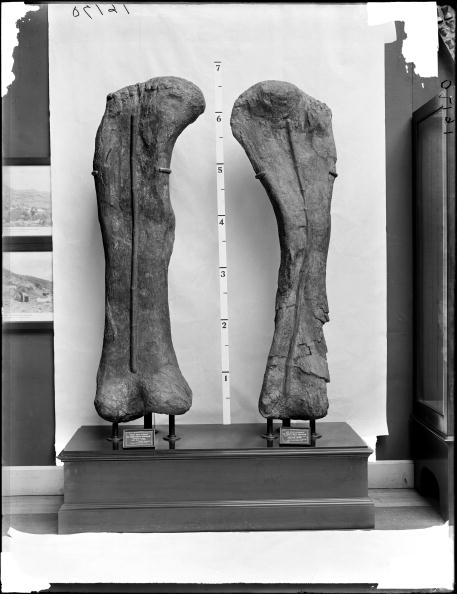 Femur of Apatosaurus and right humerus Brachiosaurus altithorax holotype on wooden pedestal (exhibit) with labels and 6 foot ruler for scale, Geology specimen, Field Columbian Museum, 1905. (Photo by Charles Carpenter/Field Museum Library/Getty Images)