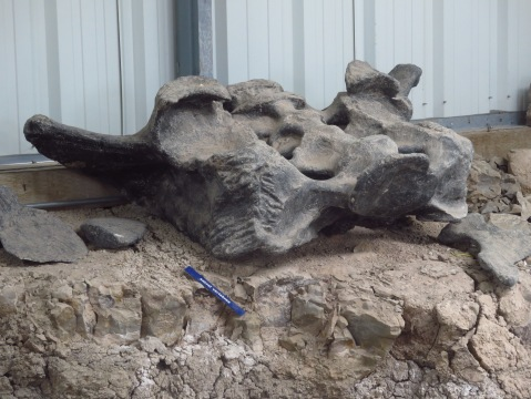 4 - Camarasaurus pelvis with bite marks
