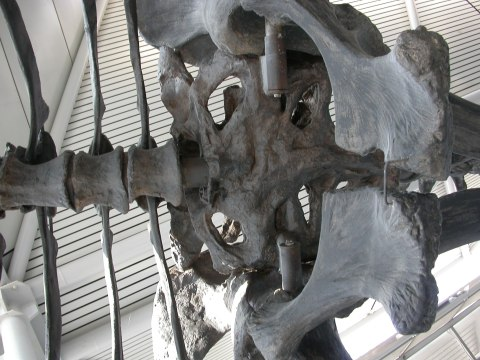 Brachiosaurus mount at Chicago O'Hare Airport, terminal one. Pelvis in ventral view, anterior to the left.