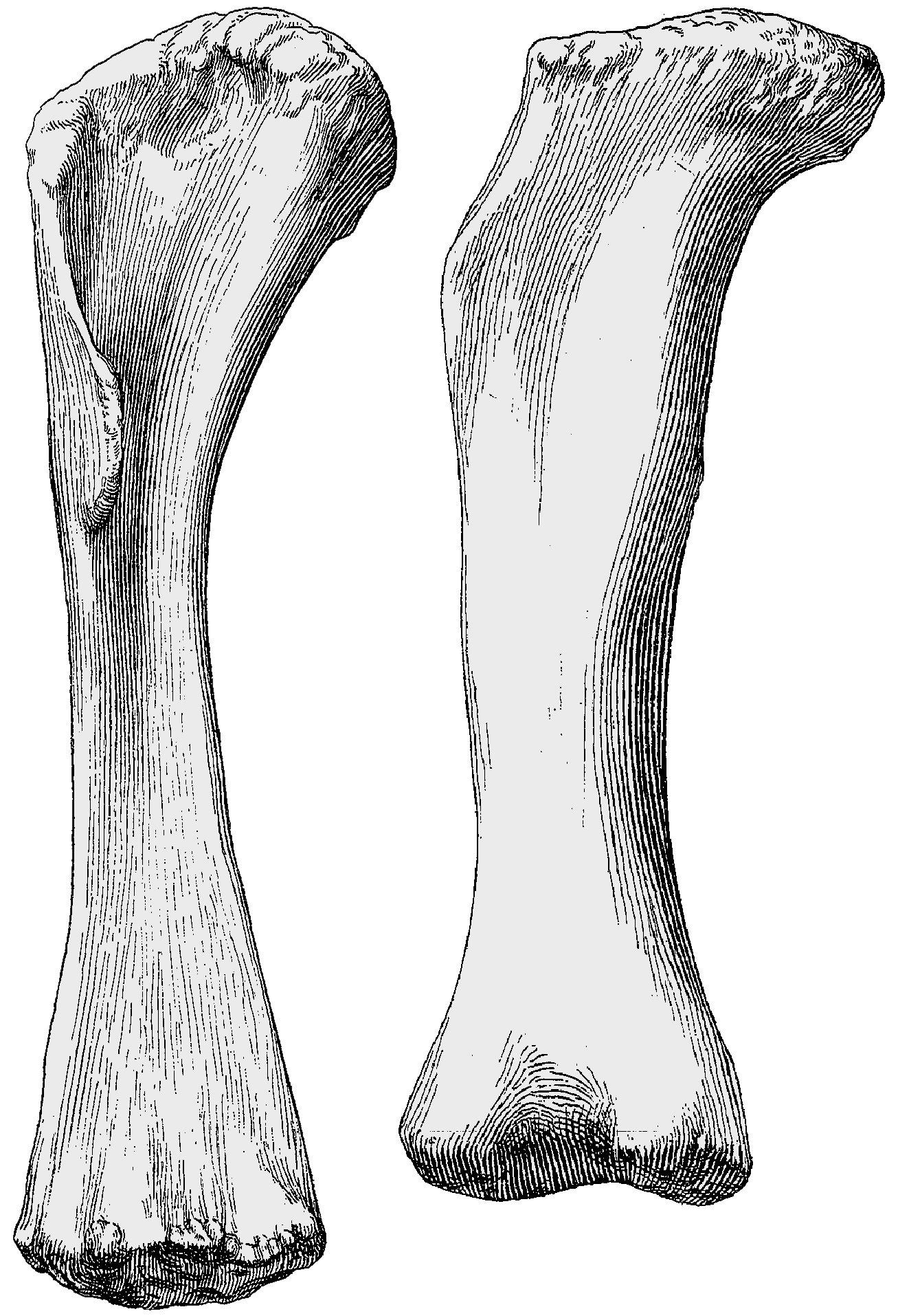 Janensch1961-tendaguru-limbs--plates-AJ--giraffatitan-limb-bones-scaled