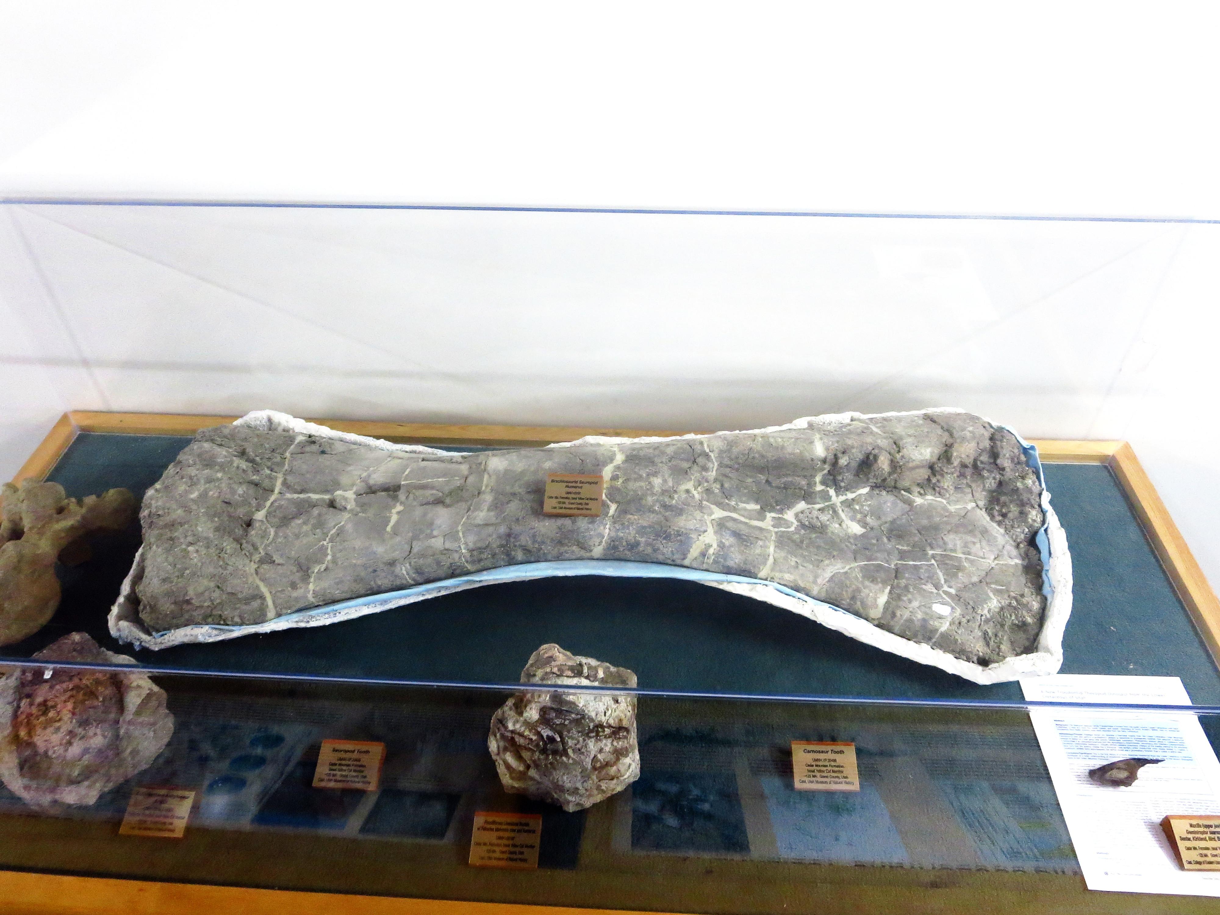 Powell Museum sauropod humerus