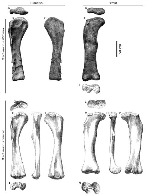 Taylor (2009: figure 5). Right limb bones of Brachiosaurus altithorax and Brachiosaurus brancai, equally scaled. A-C, humerus of B. altithorax holotype FMNH P 25107; D-F, femur of same; G-K, humerus of B. brancai lectotype HMN SII; L-P, femur of B. brancai referred specimen HMN St 291, scaled to size of restored femur of HMN SII as estimated by Janensch (1950b:99). A, D, G, L, proximal; B, E, H, M, anterior; C, K, P, posterior; J, O, medial; F, I, N, distal. A, B, D, E modified from Riggs (1904:pl. LXXIV); C modified from Riggs (1904:fig. 1); F modified from Riggs (1903:fig. 7); G-K modified from Janensch (1961:Beilage A); L-P modified from Janensch (1961:Beilage J). Scale bar equals 50 cm.