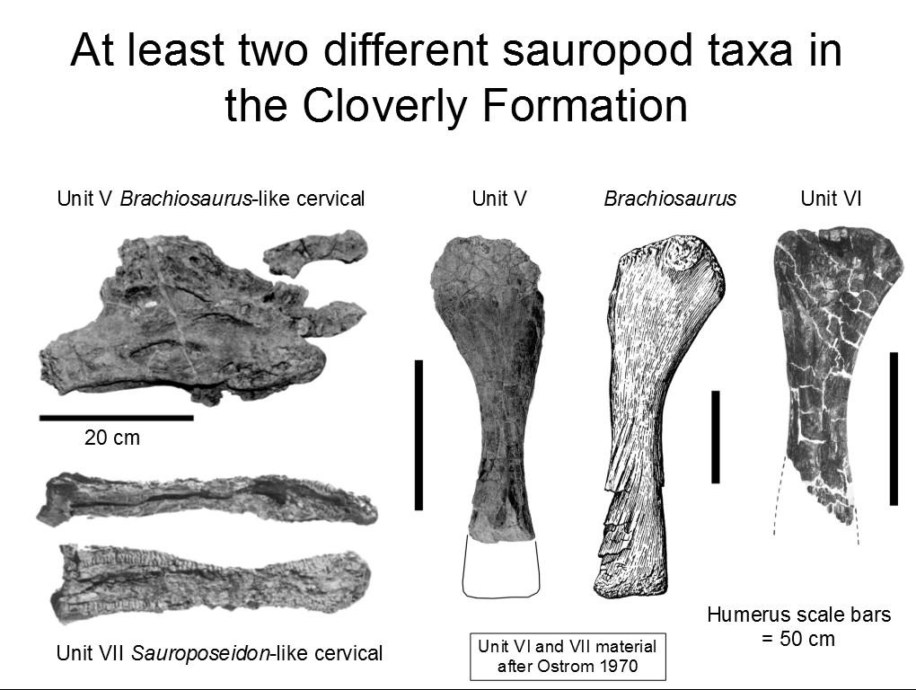 Wedel Naish 2014 Sauroposeidon and kin - slide 65 Cloverly sauropods