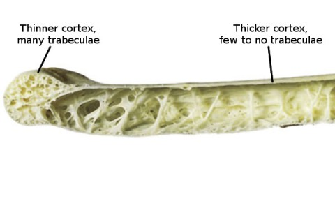 bird wing bone cross-section