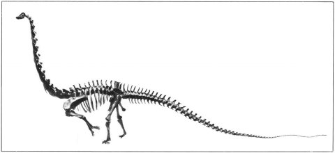 Bipedal Diplodocus USNM 10865 - modified from Gilmore 1932 pl 6 - v2