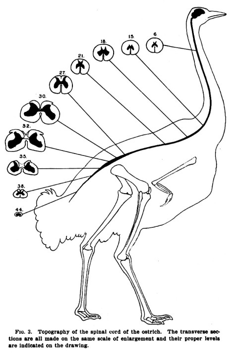 Streeter (1904: fig. 3). Compare to the next image down, and note that in birds and other reptiles the spinal cord runs the whole length of the vertebral column, in contrast to the situation in mammals.