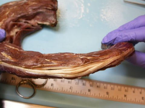 Rhea ventral tendons stacked - full