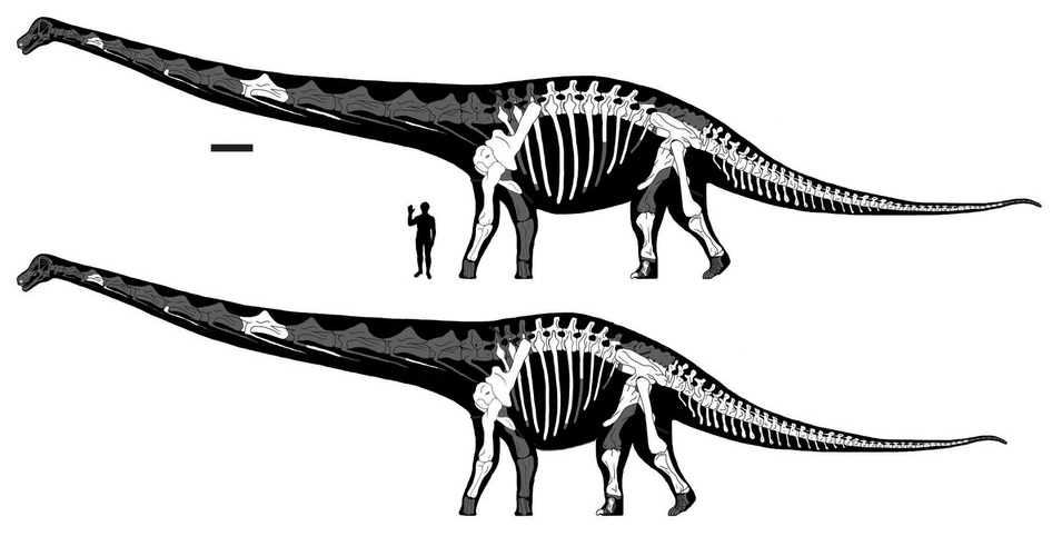 Dreadnoughtus shortened torso comparison - Lacovara et al 2014 fig 2
