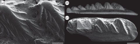 Fletcher et al. 2104: figure 3. Flank scale of the osteichthyan Lophosteus: (a) scanning electron microscope (SEM) image of large buttressed tubercles on upper surface; (b) lateral view (surface rendering of mCt scan); and (c) dorsal view (SEM image). Scale bar: (a) 100 mm, (b-c) 0.5 mmFletcher et al. 2104: figure 3. Flank scale of the osteichthyan Lophosteus: (a) scanning electron microscope (SEM) image of large buttressed tubercles on upper surface; (b) lateral view (surface rendering of µCt scan); and (c) dorsal view (SEM image). Scale bar: (a) 100 mm, (b-c) 0.5 mm