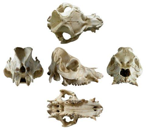 pig-skull-white