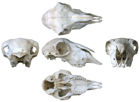 sheep-skull-composite