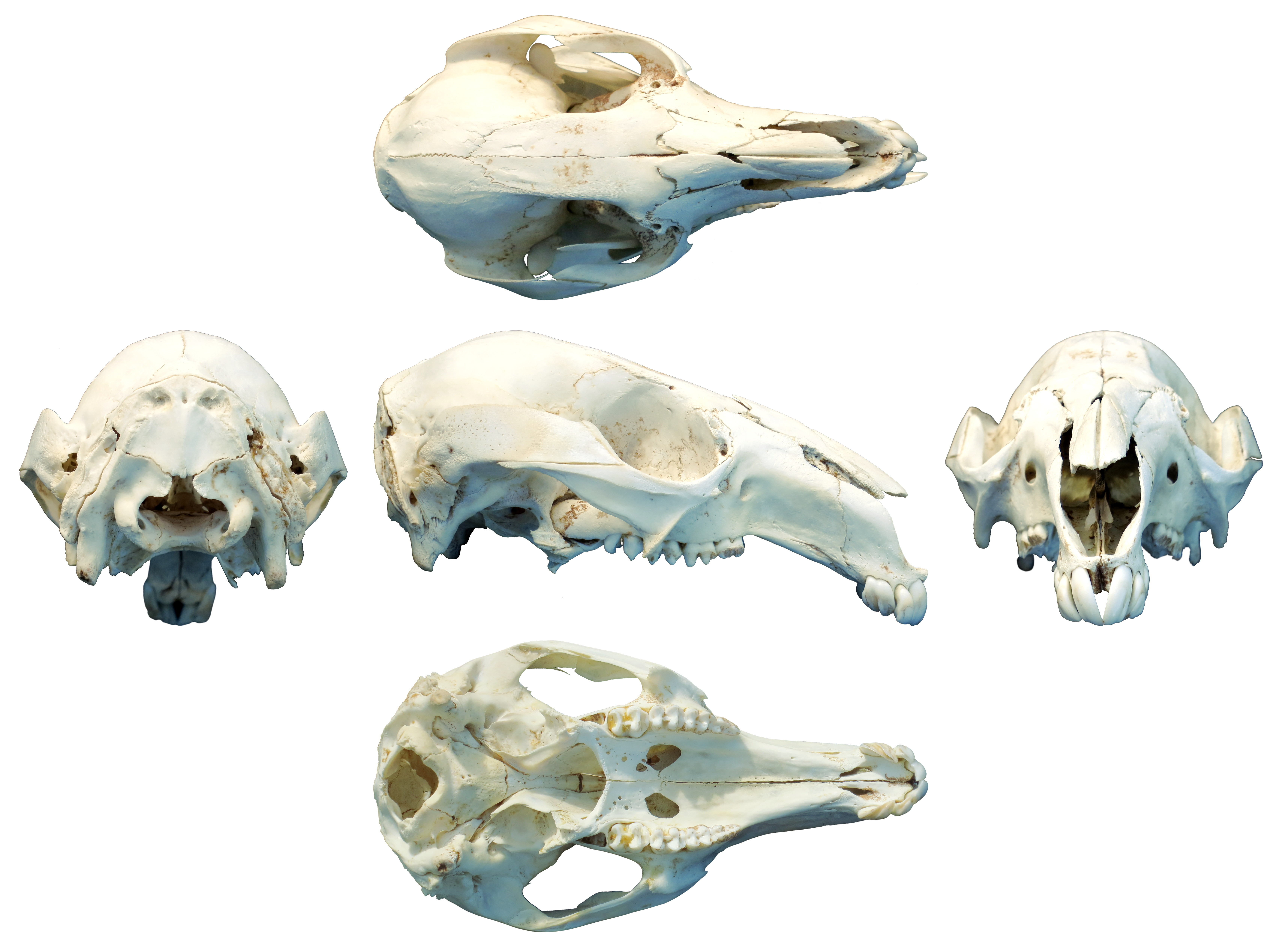 Here\'s that wallaby-skull multiview you ordered   Sauropod Vertebra ...