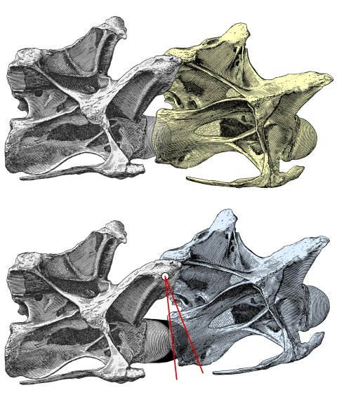 Figure 1. Increased angle of elevation at an intervertebral joint when cartilage is included. Posterior cervical vertebrae 13 and 14 of Diplodocus carnegii holotype CM 84, from Hatcher (1901:plate III), in right lateral view. Top: C13 (yellow) in osteological neutral posture, with the condyle of C14 embedded in the cotyle of C13 and with zygapophyseal facets maximally overlapped. Bottom: intervertebral cartilage (black) added, and C13 (blue) rotated upwards to accommodate it. Since the zygapophyses remain maximally overlapped, a line between the centre of their facets forms the axis of rotation (white dot); red lines join the centre of rotation to the most anterior point of the bony condyle and of the intervertebral cartilage. By similarity, the angle between the yellow and blue vertebrae is equal to that between the red lines.