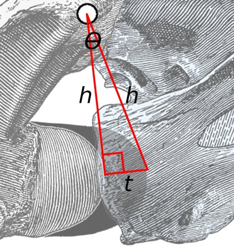 Figure 3: Close-up of area of rotation in Fig. 2. The two long lines, each of length h, connect the middle of the zygapophyseal facets to the anteriormost point of the condyle of the posterior vertebra and the cotyle of the anterior one. The short line of length t is projected at a right angle to the left line, and more or less connects the points on the condyle and cotyle. The angle between the two long lines is θ.