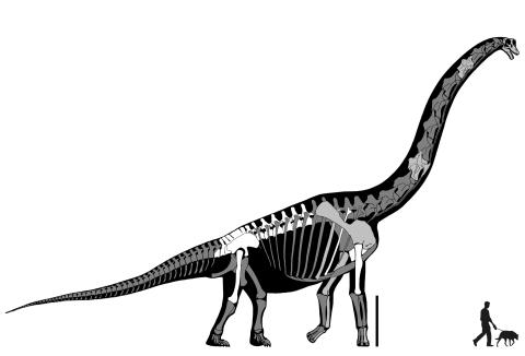 "Taylor (2007: figure 7). Skeletal reconstruction of Brachiosaurus altithorax. White bones represent the elements of the holotype FMNH P 25107. Light grey bones represent material referred to B. altithorax: the Felch Quarry skull USNM 5730, the cervical vertebrae BYU 12866 (C?5) and BYU 12867 (C?10), the ""Ultrasauros"" scapulocoracoid BYU 9462, the Potter Creek left humerus USNM 21903, left radius and right metacarpal III BYU 4744, and the left metacarpal II OMNH 01138. Dark grey bones modified from Paul's (1988) reconstruction of Giraffatitan brancai. Scale bar equals 2 m."