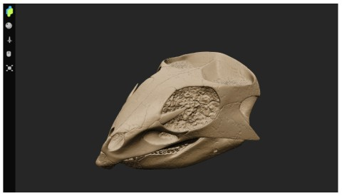 Aquilops reconstructed skull 3D model screenshot