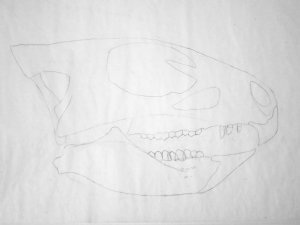 Aquilops skull lateral 1 - outline