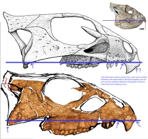Aquilops skull lateral 6 - beak curvature issue
