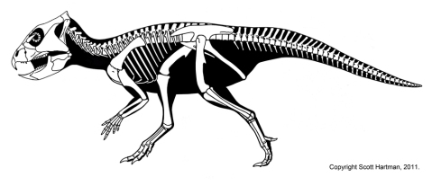 Archaeoceratops skeletal reconstruction by Scott Hartman. Copyright Scott Hartman, 2011, used here by permission.