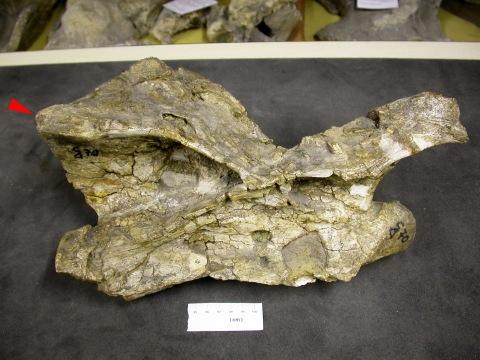 Australodocus epipophysis