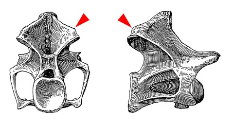Haplocanthosaurus epipophyses - Hatcher 1903