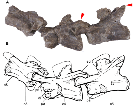 Leonerasaurus_cervical_vertebrae - Pol et al 2011 fig 5