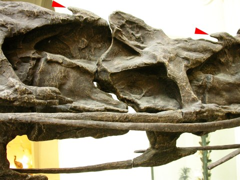 Mamenchisaurus epipophyses - lateral view