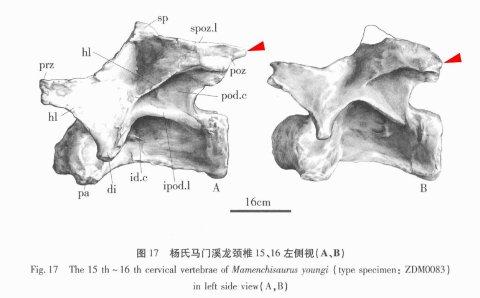 Mamenchisaurus youngi epipophyses