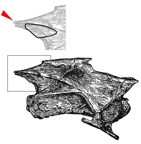 Omeisaurus epipophysis