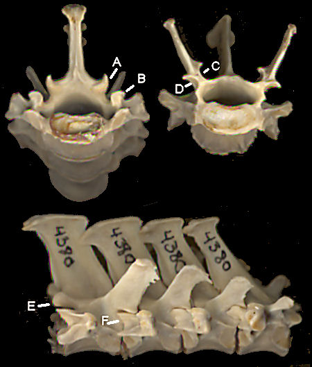 Armadillo lumbar vertebrae in posterior, anterior and right lateral views.