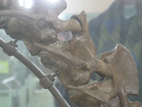 AMNH ?3554, Tenontosaurus tilletti, cervcials 2-4 in right lateral view.