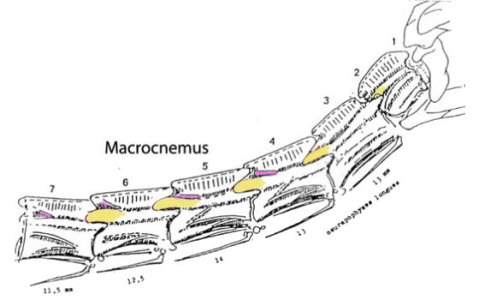 Cervicals 1-6 of the protorosaur Macrocnemus, modified from an uncredited image on Dave Peters' site. Postzygapophyses in yellow, epipophyses in purple.