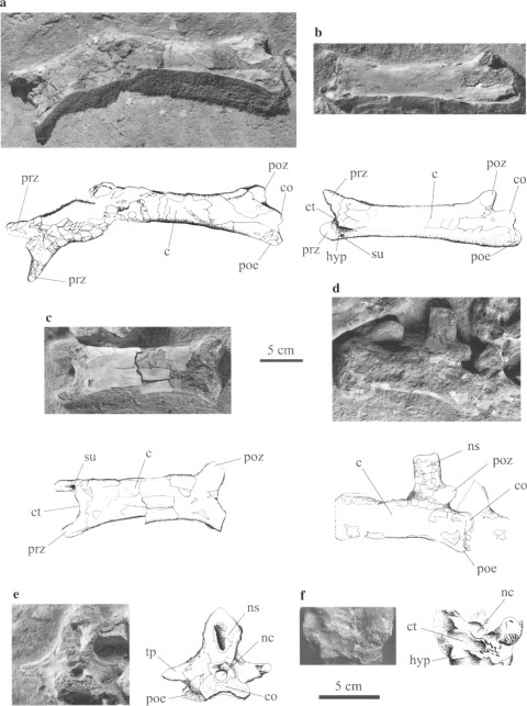 Pereda Suberbiola et al. (2003: fig. 3). Phosphatodraco mauritanicus gen. et sp. nov, OCP DEK/GE 111, Late Cretaceous (Maastrichtian), Morocco: (a) cervical five in two fragments, ventral and left lateral views; (b) cervical six in ventrolateral view; (c) cervical seven in ventral view; (d) cervical eight in left lateral view; (e) cervical nine in posterior view; (f) cervical six in anterior view. c, centrum; co, condyle; ct, cotyle; hyp, hypapophysis; nc, neural canal; ns, neural spine; poe, postexapophysis; poz, postzygapophysis; prz, prezygapophysis; su, sulcus; tp, transverse process.