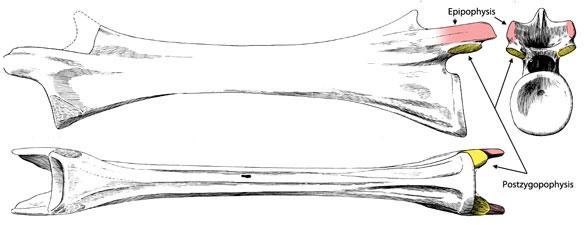 Image result for pterosaur caudal vertebrae