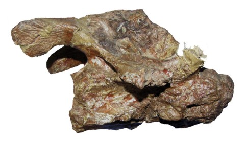 Zurriaguz and Powell (2015:figure 4B). Mid-anterior cervical PVL 4017-138 of Saltasaurus loricatus in right lateral view.