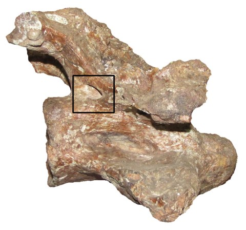 Zurriaguz and Powell (2015:figure 5). Last anterior cervical vertebra (PVL 4017-5) of Saltasaurus loricatus in right lateral view. (Ignore the inset square for our purposes: it's in the original.)