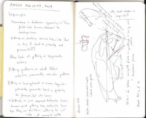 AMNH rabbit skull sketch 1