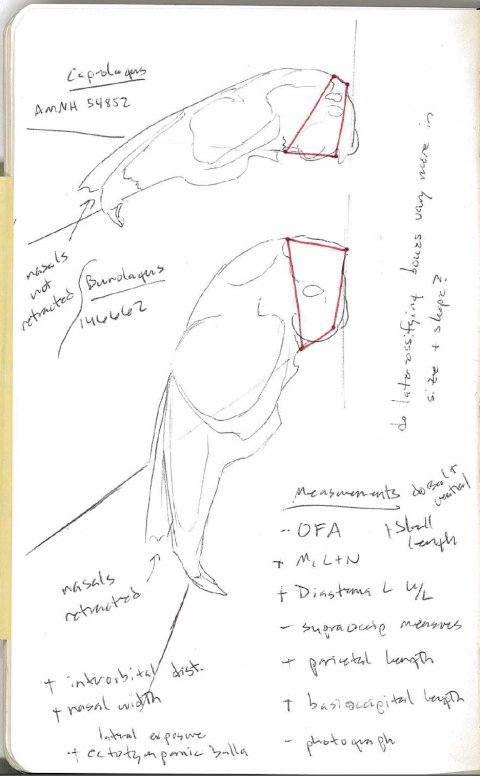 AMNH rabbit skull sketch 2 - facial tilt