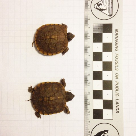 Baby box turtles 2015-03-21 1