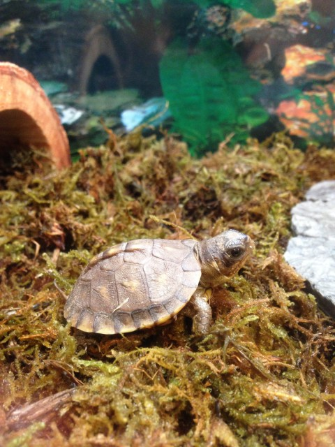 Baby box turtles 2015-03-21 3