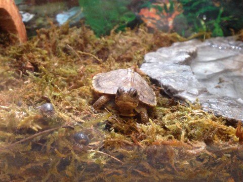 Baby box turtles 2015-03-21 4-2