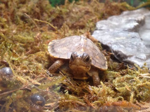 Baby box turtles 2015-03-21 4-3