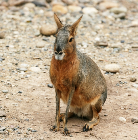 Mara photo from Wikipedia