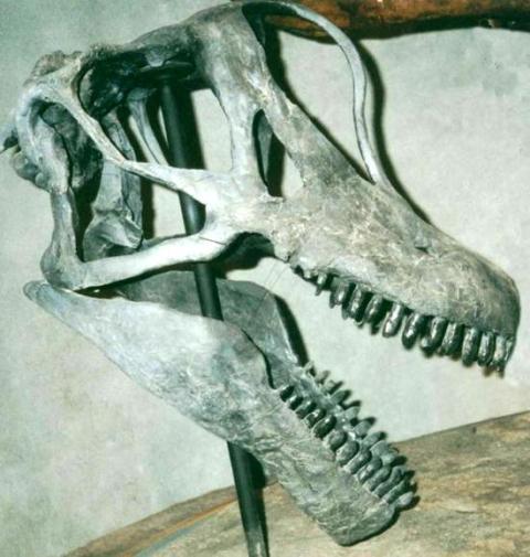 felch-quarry-brachiosaur-skull